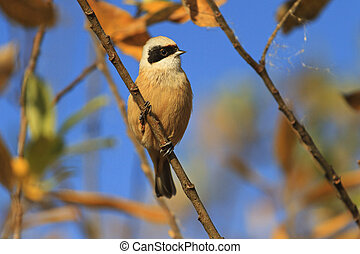 European penduline tit on a branch of autumn leaves