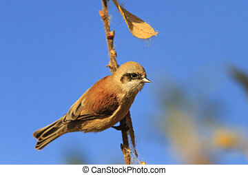 Eurasian penduline tit on a branch against the sky