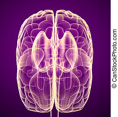 Brain lobe and cerebellum, isolated on white. Medical accurate 3D illustration