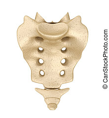 Sacrum : Medically accurate 3D illustration
