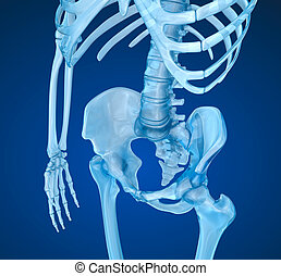 Human skeleton: pelvis and sacrum. Medically accurate 3D...