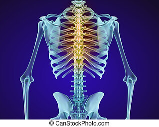 Human skeleton and spine. Xray view. Medically accurate 3D...