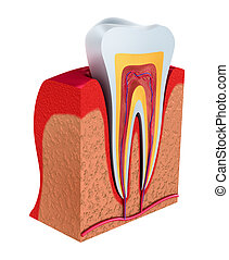 Section of the tooth pulp with nerves and blood vessels 3D...