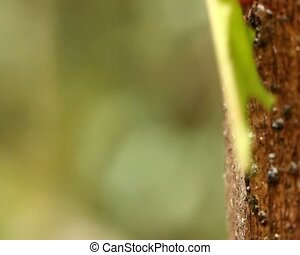 Leaf cutter ants (Atta sp.) - carrying leaves down a tree...