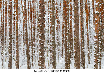 Pine tree trunks covered with snow