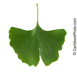 Ginkgo biloba leaf isolated on white background. Leaf from...