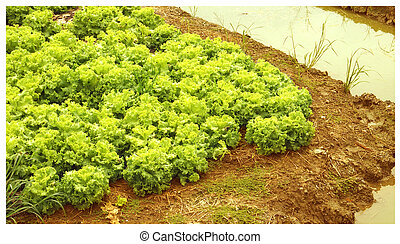 Planting lettuce with a ditches around it crop