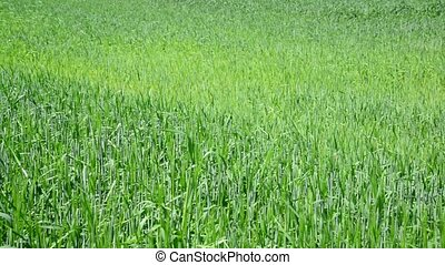 Field of young wheat by day