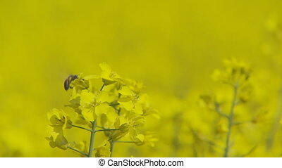 bee and rape flowers selective focus - busy bee collecting...
