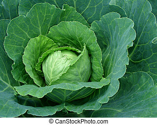 fruiting cabbage head - fruiting young cabbage head on the...