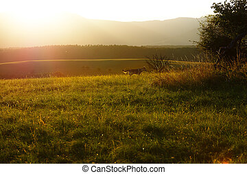 wild wolf in beautiful meadow landscape with beaming...