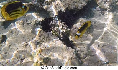 Fish in Red sea - Sea urchins sits in a crevice of the stone...