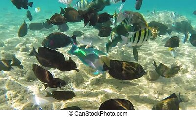 Fish in Red sea - Underwater footage colorful fish on coral...