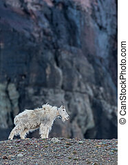 Adult Mountain Goat with Tracking Collar Stands on Rocky...