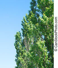 Green poplar tree - Poplar tree on a blue sky background