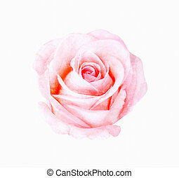 Digital painting watercolor of pink rose.