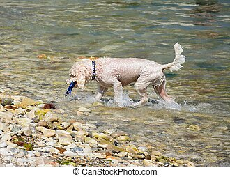 Dog retrieving toy from sea. - A wet dog retrieving his toy...