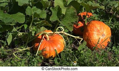 Pumpkins growing in organic vegetable garden. Panorama. 4K -...