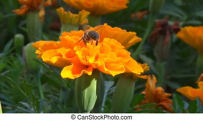 A bee collects nectar on the flower Tagetes. - Flower fly on...