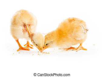 The competition concept - two various chicks peck millet,...