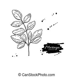 Moringa leaves vector superfood drawing. Isolated hand drawn...