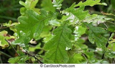 oak leaves in rain drops ,