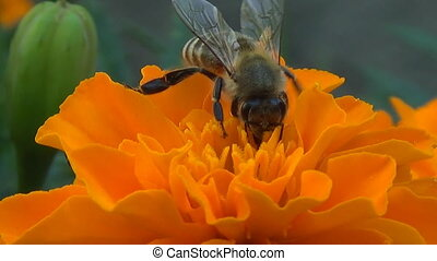 A bee collects nectar on the flower Tagetes - Flower fly on...