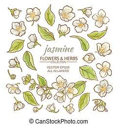 jasmine flowers set - jasmine flowers vector set on white...