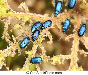 Leaf beetles Chrysomelidae defoil - In cloudforest in the...