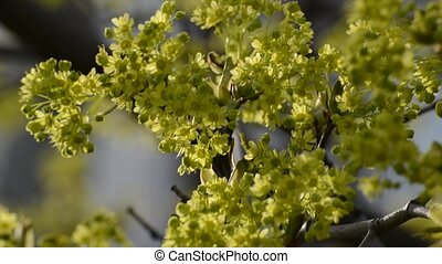 Twig a tree with green flowers in spring - Twig a tree with...