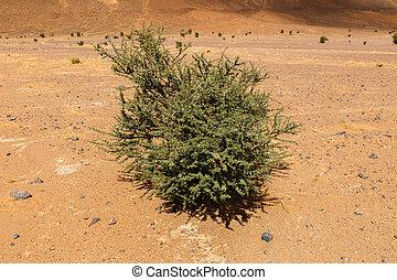 acacia in the Sahara desert