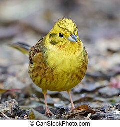 Yellowhammer (Emberiza citrinella) - Closeup portrait of the...