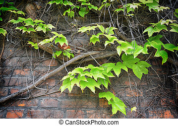 branch of green Ivy on brick wall