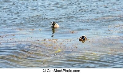 Wild duck cleans its feathers - Wild duck swims in blue...
