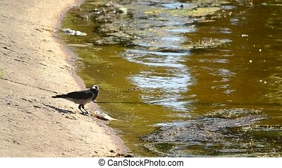 One crow eats dead fish, and the other drinks water - Corvus...