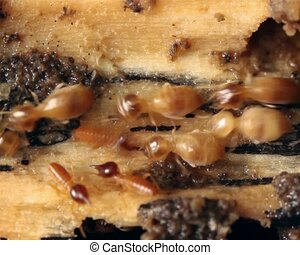 Termites in a rotting log - In rainforest, Ecuador