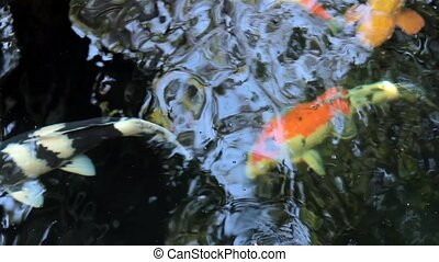 Koi, Fancy Carp are swimming in abo