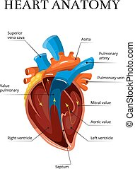 Heart sectional anatomy vector cardiological illustration...