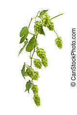 hop cones isolated on white background