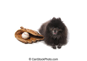 Pomeranian with a baseball and glove