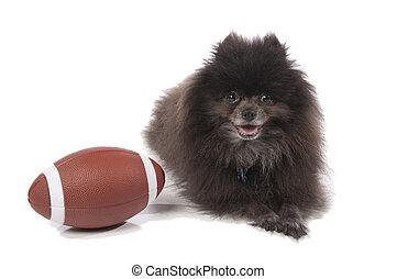 Pomeranian with an American football