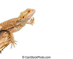 bearded dragon - an isolated image of a bearded dragon in an...