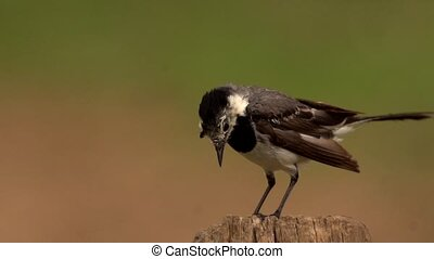 white wagtail in slow motion