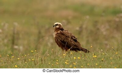 marsh harrier on a meadow