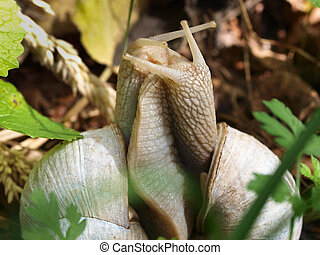 Edible snail (Helix pomatia) in Courtship - a Pair of Edible...