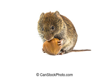 Vole trying to open hazelnut - Wild Bank vole mouse (Myodes...