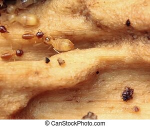 Termites in a rotting log - In tropical rainforest, Ecuador