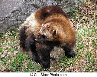 Close-up of a wolverine showing the full body with its thick...