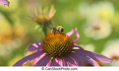 Beetle on a Echinacea flower - Beetle collects nectar on a...