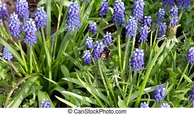 restless bumble bee tirelessly flits from flower to flower in search of nectar, pollen.